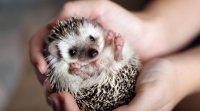 Pop up kniha. Malý ježko.